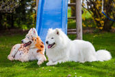 Samoyed  dog repainted on leopard and tiger.  groomed dog. pet g — Stock Photo