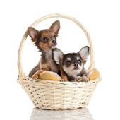 Lovely adorable chihuahua puppies — Stock Photo