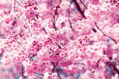 Cherry blossom, sakura flowers — Stock Photo