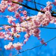 Sakura flowers blooming. Beautiful pink cherry blossom — Stock Photo #45893775