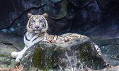 White Tiger — Photo