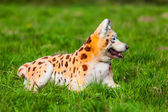 Dog repainted on leopard — Stock Photo