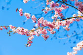 Sakura flowers blooming — Stock Photo