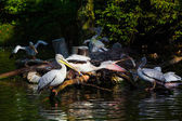 Pelicans on pond — Stock Photo