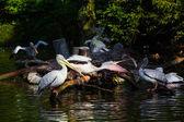 Pelicans on pond — Stock Photo