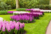 Hyacinths flowerbeds — Stock Photo