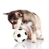 Cachorrinho com bola — Foto Stock