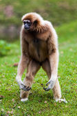 White Gibbon — Stock Photo