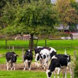 Cows on meadow — Stock Photo #48863915