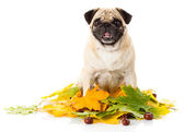 Pug dog in leafs — Stock Photo