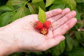Healthy raspberries — Stock Photo