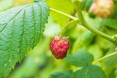 Ripe raspberry — Stock Photo