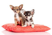 Adorable Chihuahua puppies — Foto Stock