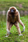 Cheeked Gibbon — Stock Photo