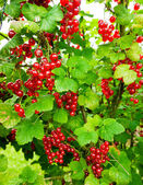 Redcurrant in garden — Stock Photo