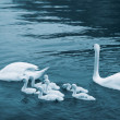 Swan with chicks. Mute swan family — Stock Photo #49406211