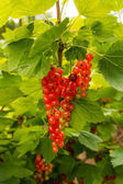 Redcurrant berry fruits and leaf — Stock Photo