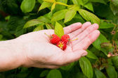 Red berries in the hand.  Fresh picked raspberries  — Stock Photo