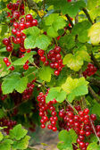 Fresh redcurrant berry fruits and leaf.  Redcurrants.  Red curra — Stock Photo
