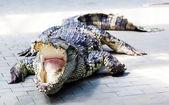 Angry crocodile — Stock Photo