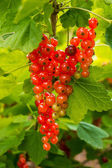 Fresh redcurrant berry fruits — Stock Photo