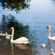 Постер, плакат: Swan with chicks