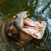 Hipopótamo nadando en el agua — Foto de Stock