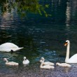 Swan with chicks — Stock Photo #50170043
