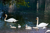 Swan with chicks — Stock Photo