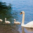 Swan with chicks — Stock Photo #50333113
