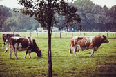 Cows on meadow with green grass — Stock Photo