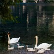 Swan with chicks. Mute swan family.  Beautiful young swans in la — Stock Photo #50677129