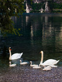 Swan with chicks. Mute swan family.  Beautiful young swans in la — Stock Photo