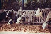 Vacas em uma fazenda. vacas leiteiras em uma fazenda. — Foto Stock