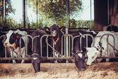 Vacas em uma fazenda — Foto Stock