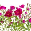 Pink buds floral isolated bush — Stock Photo