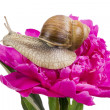 Grape snail on pink peiny — Lizenzfreies Foto