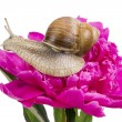 Grape snail on pink peiny — Stok fotoğraf