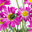 Green bug on pink daisies — Stock Photo