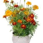 ������, ������: Flowers of Saffron bush in pot