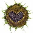Stock Photo: Sunflower heart