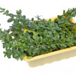 Evergreen plant Boxwood branches — Stock Photo