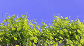 Vine branches tend to the sun — Stock Photo