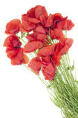 Wild field poppies bouquet — Stock Photo