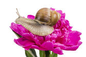 Grape snail on pink peiny — Stock Photo