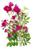 Pink roses buds — Stock Photo
