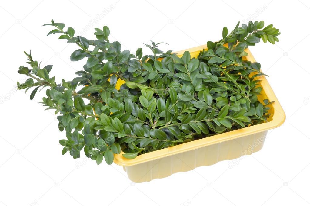 Rami di bosso pianta sempreverde foto stock vilaxlt for Pianta bosso prezzo