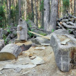 Ruthless felling of old age-old pine forest — Stock Photo