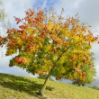Colored lonely autunm maple tree — Stock Photo #16766437