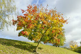 Colored lonely autunm maple tree — Stock Photo